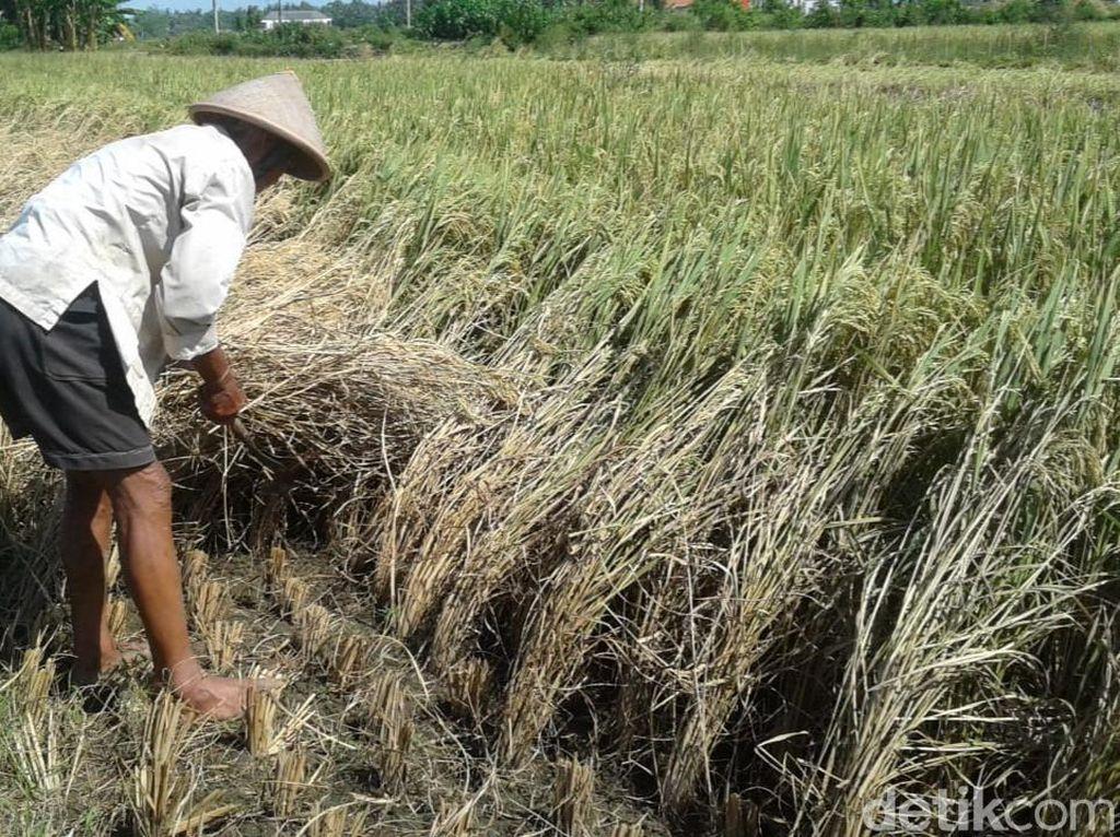 Ini Jurus Pemerintah Tangkal Ramalan Krisis Pangan FAO