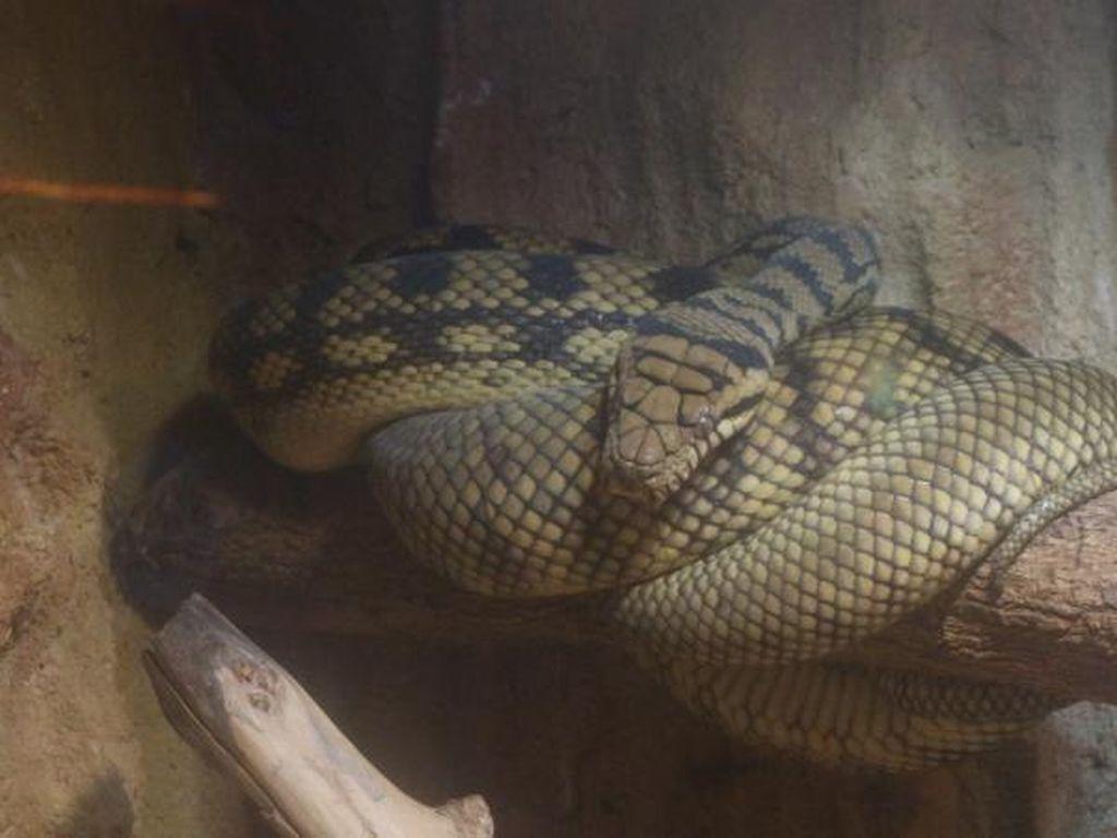 Intip Yuk, Koleksi Reptil Unik di Batu Secret Zoo
