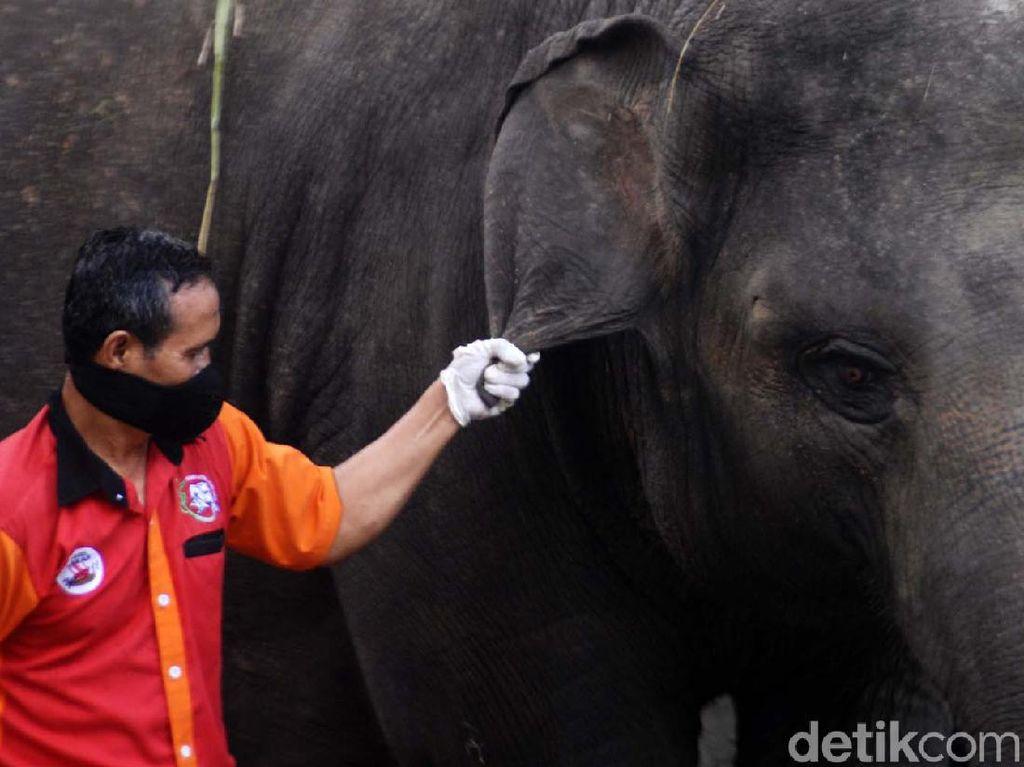 Perawatan Gajah di Tengah Minimnya Pemasukan Taman Satwa Taru Jurug
