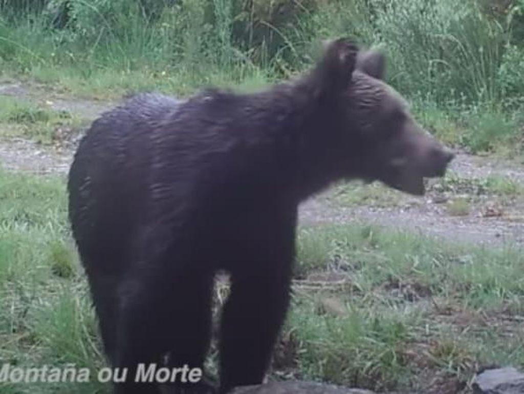 Beruang Turun Gunung, Terlihat Lagi Setelah 150 Tahun Menghilang