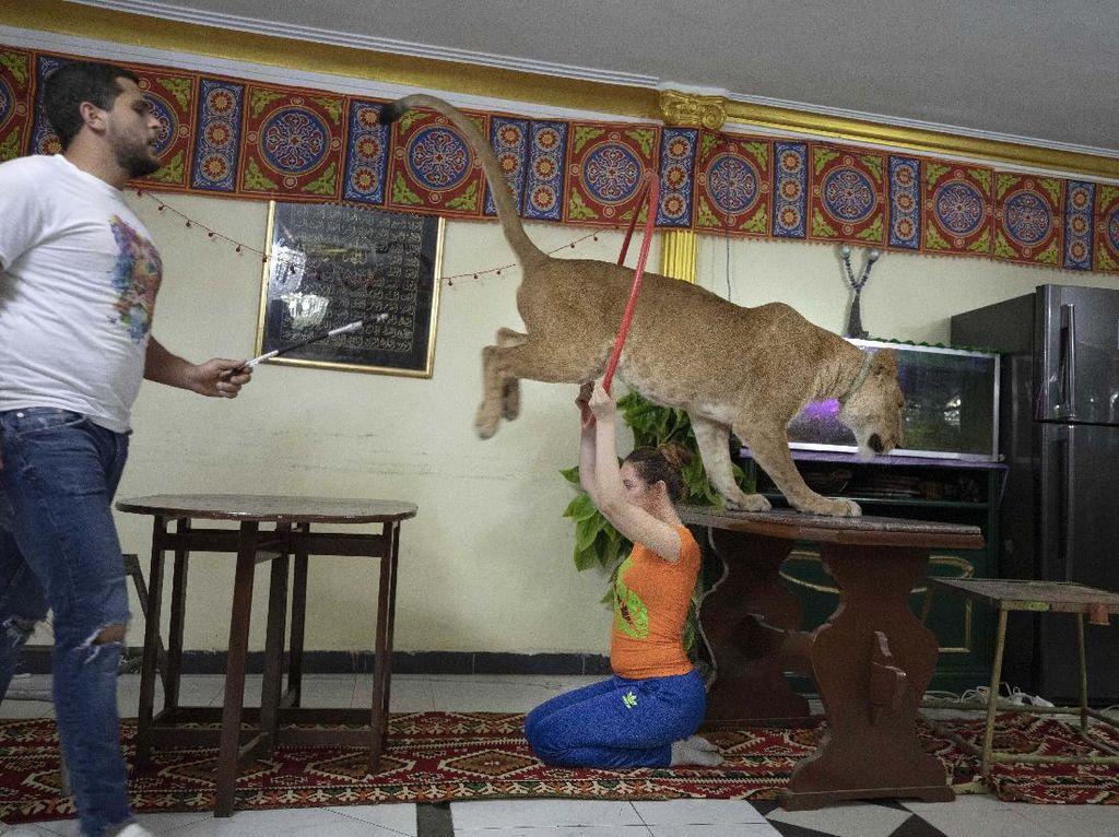 Sirkus Ditutup, Singa Ini Beraksi di Apartemen