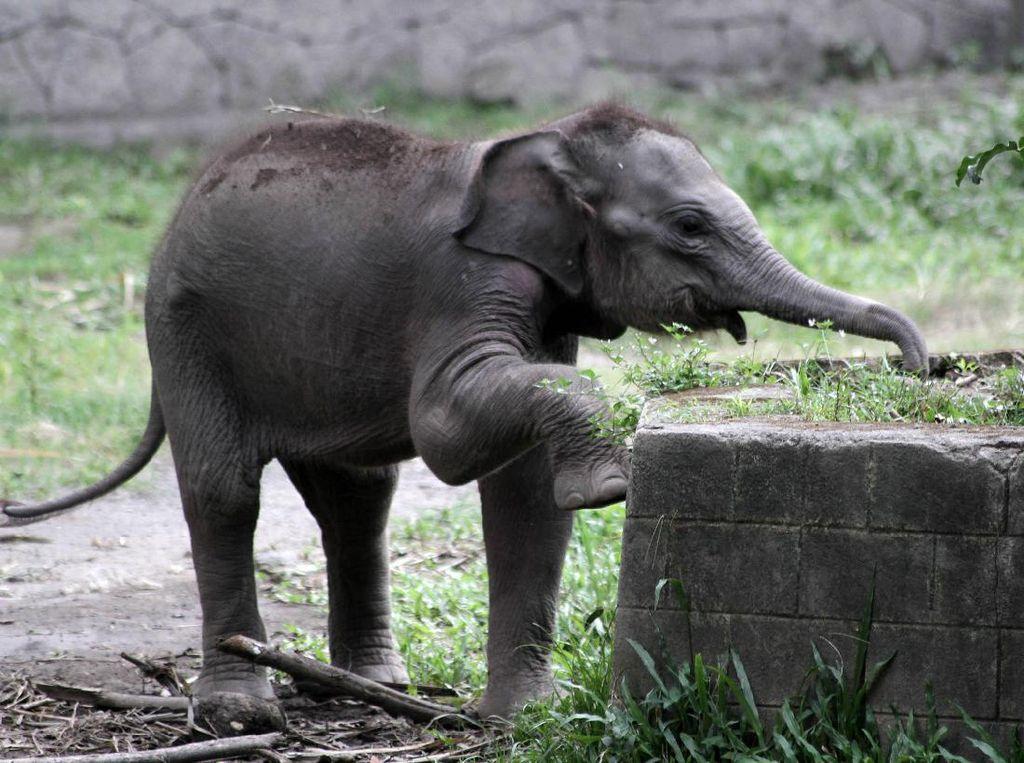 Lucunya Tingkah Polah Bayi Gajah Sumatera di Gembiraloka Zoo