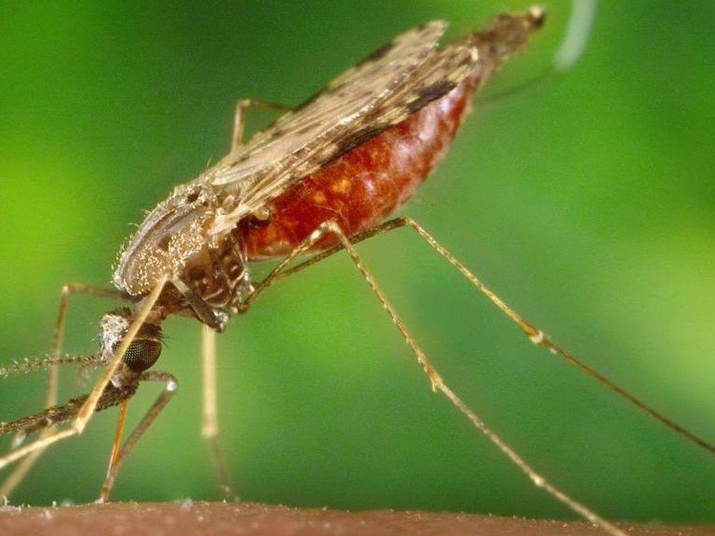 Ilmuwan Temukan Mikroba yang Sepenuhnya Hentikan Malaria