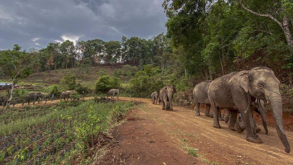 Gajah Thailand Mudik 150 Km Kembali ke Hutan