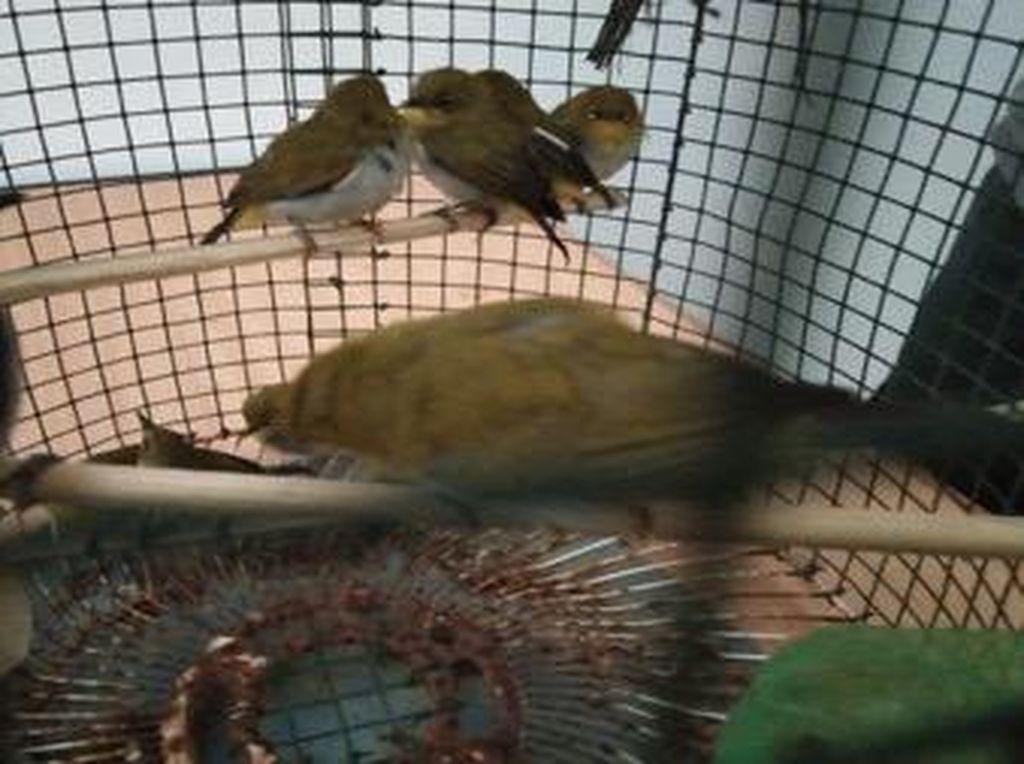 Amankan 1.266 Burung Pleci Ilegal di Medan, KLHK Tangkap 2 Pelaku