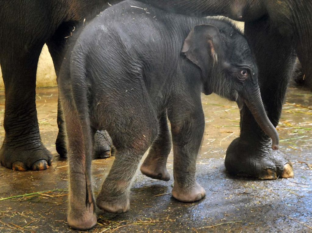Lahir Saat Pandemi, Bayi Gajah Sumatera Ini Bernama COVID