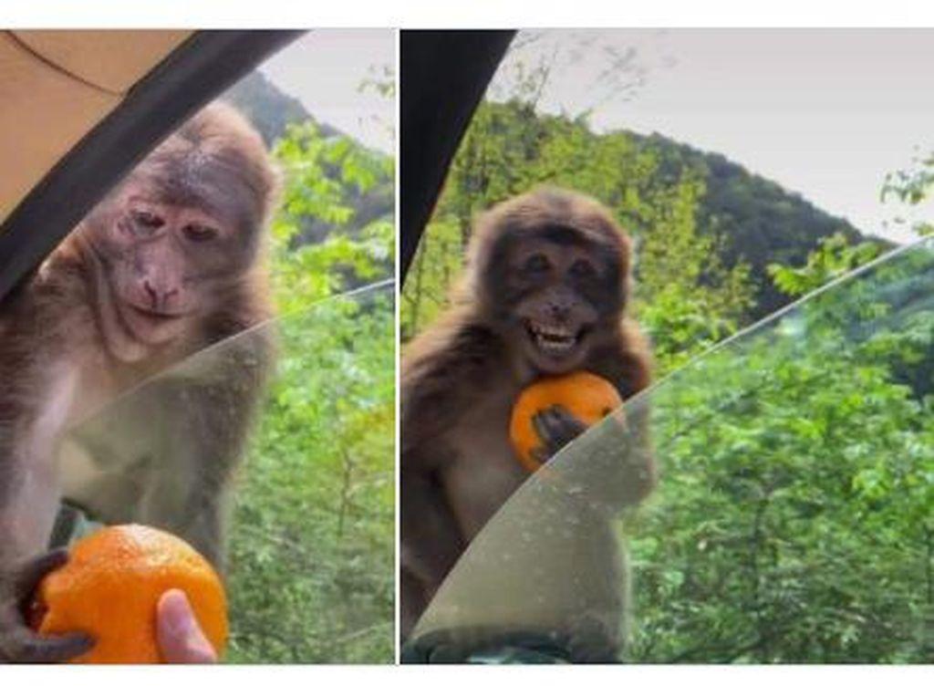 Diberi Jeruk, Reaksi Monyet Ini Bikin Netizen Terharu!