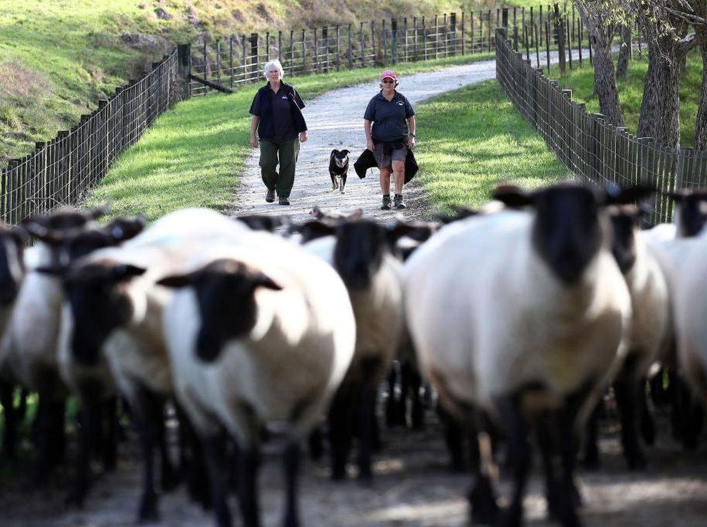 Melihat Peternak Domba di Selandia Baru Saat Pandemi Corona