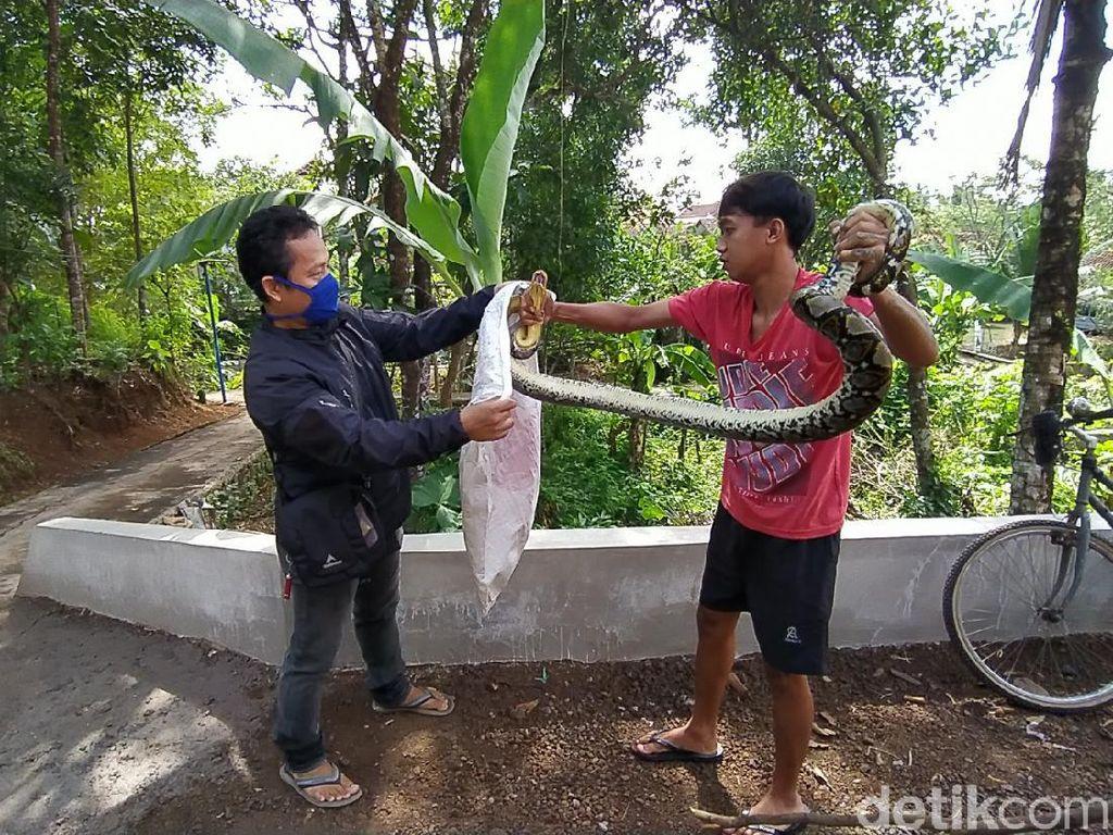 Buat Resah-Makan Ternak Warga, Ular Sanca 3 Meter di Ciamis Ditangkap