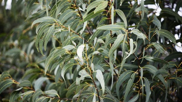 Leaves on an Australian eucalyptus gum tree