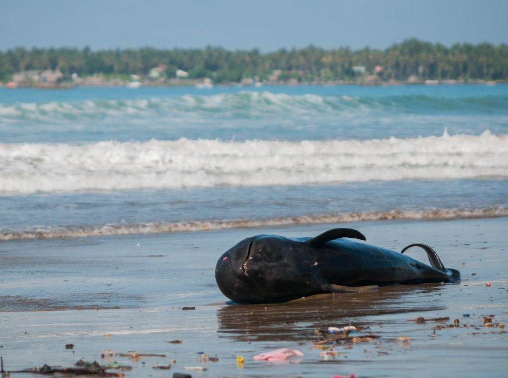 12 Ekor Paus Terdampar di Perairan NTT di Bulan Juli
