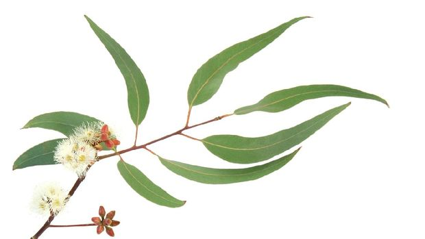 Eucalyptus branch with leaves, buds and blossom