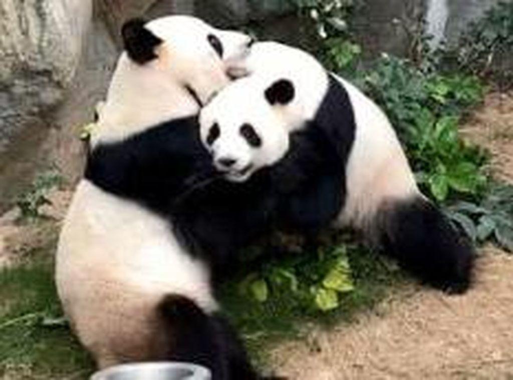 208 Panda Ikut Tes Corona di China