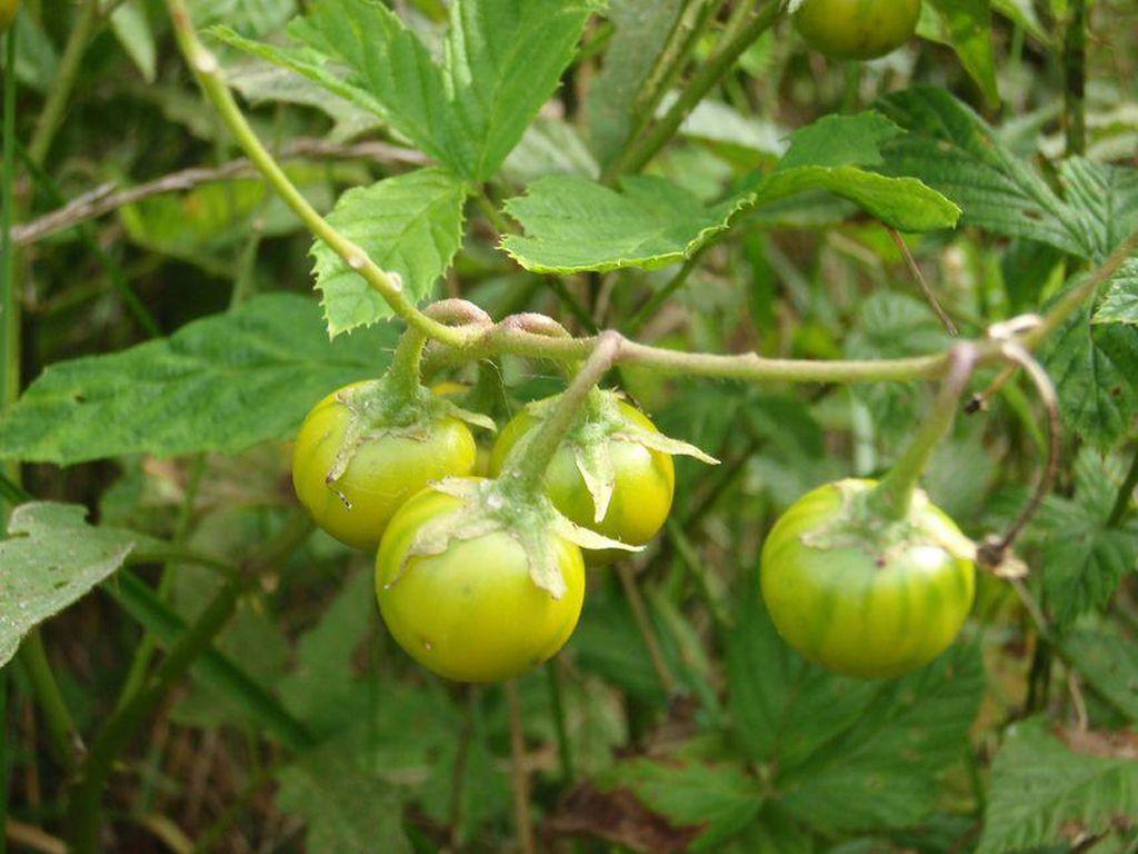 5 Tumbuhan Mematikan Ini Bentuknya Mirip Makanan