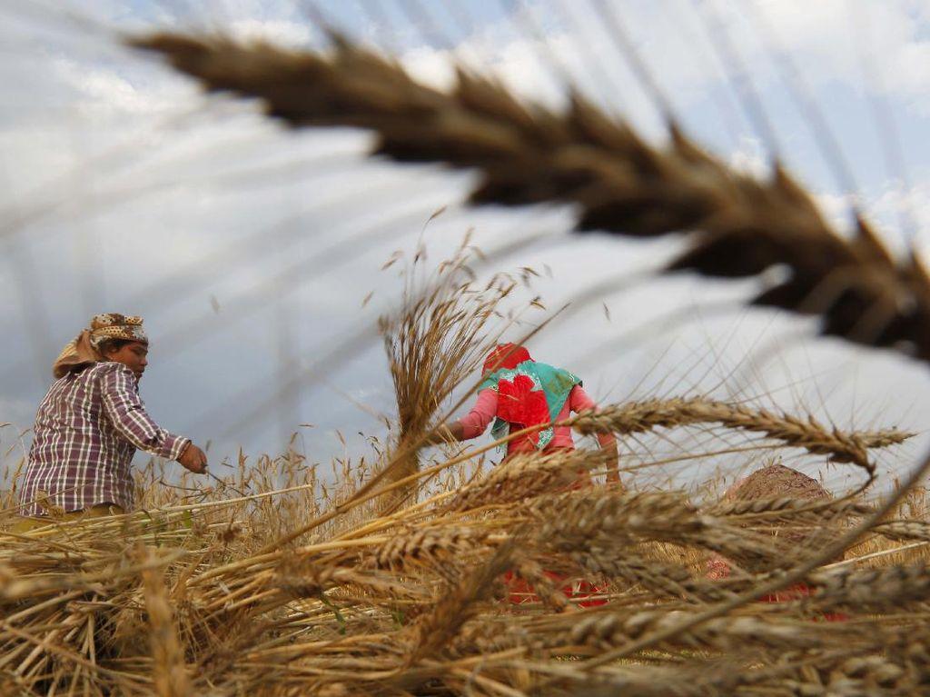 Petani Nepal Panen Gandum di Tengah Kurangnya Pekerja