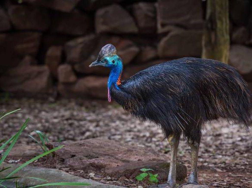 Kasuari, Burung Paling Berbahaya Tapi Berbulu Unik