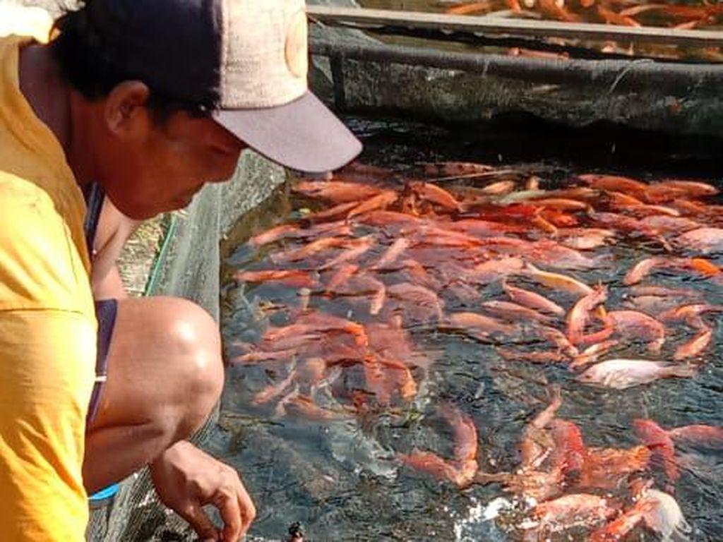 Bantu Peternak, PNS Sleman Beli Ikan Langsung dari Kolam
