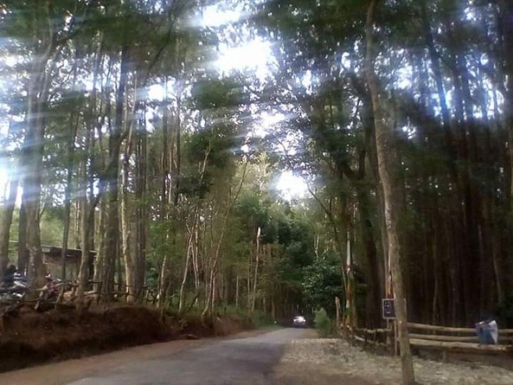 Foto: Hutan Pinus yang Asri & Sejuk di Yogyakarta