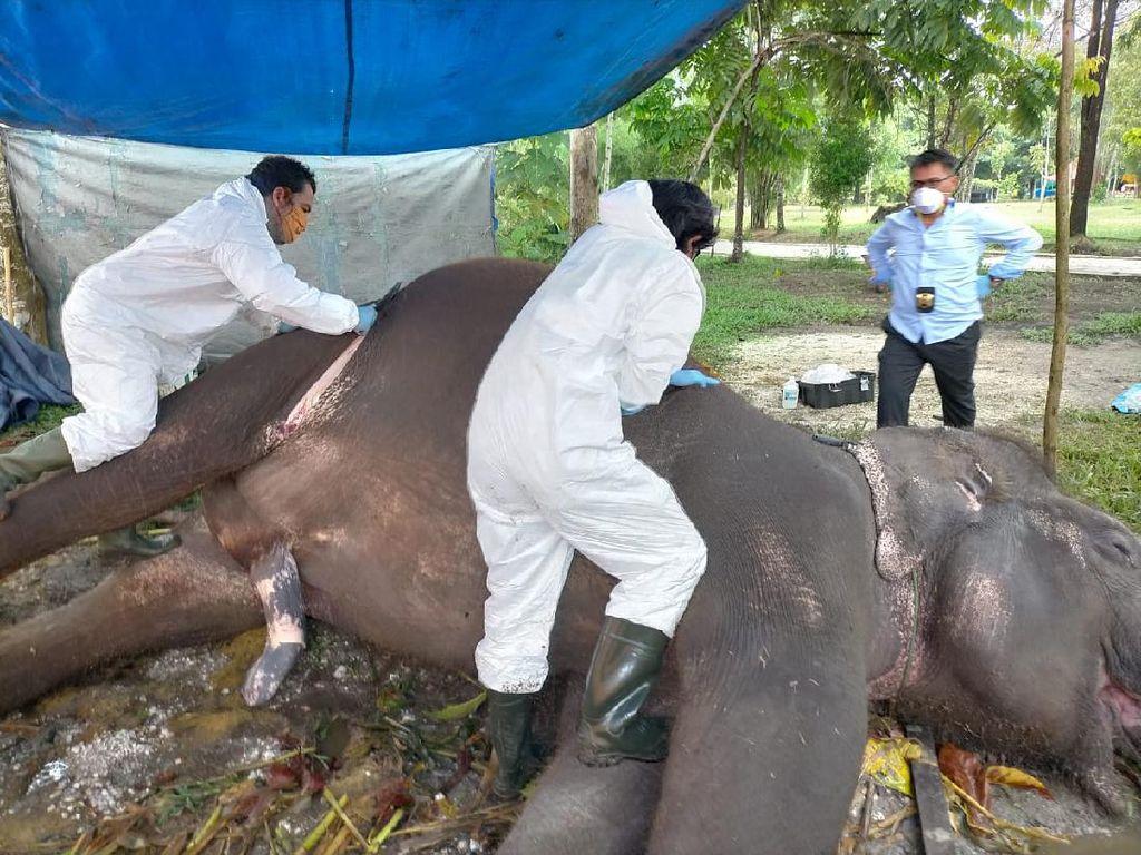 Gajah Sumatera Jantan Usia 32 Tahun Mati Mendadak di Bonbin Riau