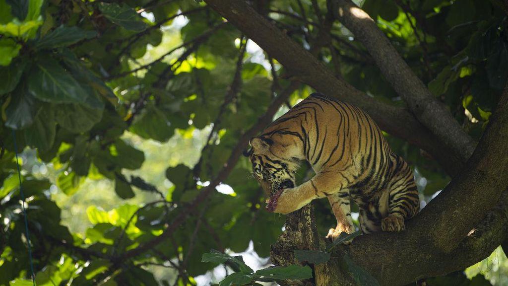 Harimau Sumatera Beraksi, Warga DKI Nonton Via Daring