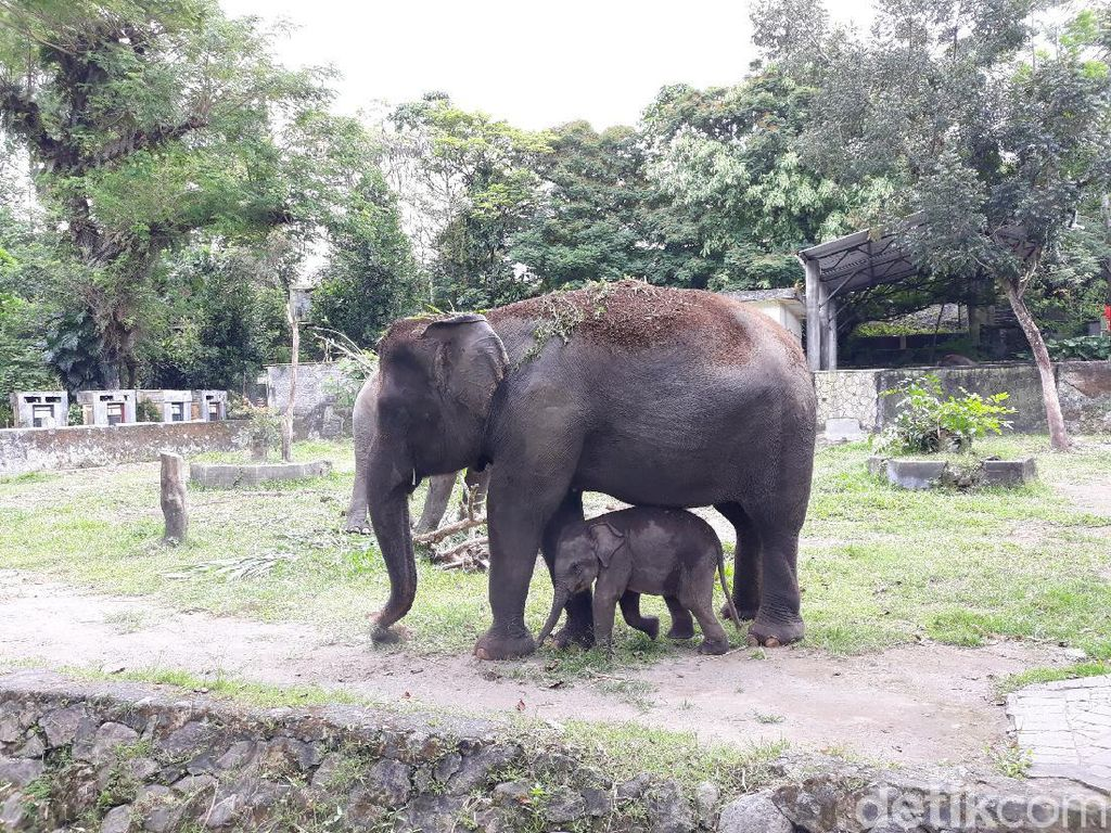 Haru! Induk Gajah Beri Hormat kepada Orang yang Menolong Anaknya