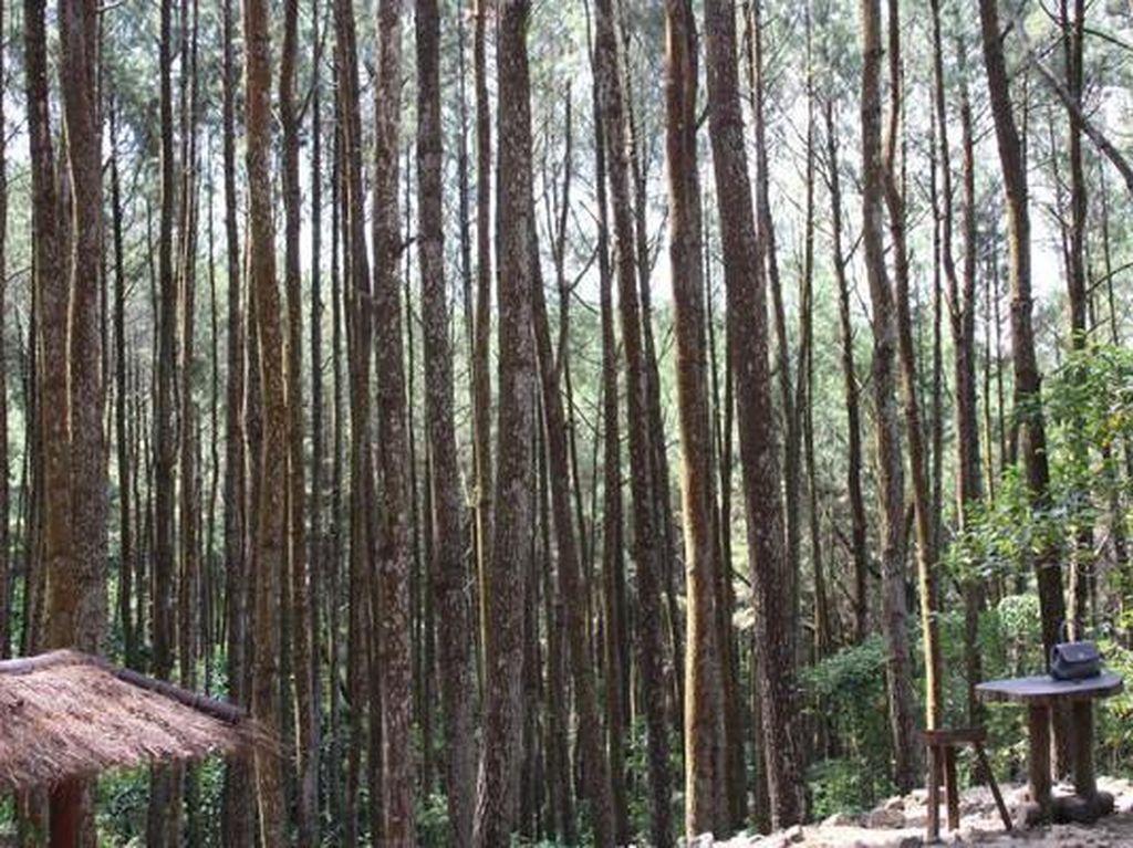 Hijaunya Hutan Pinus Mangunan Bikin Tenang