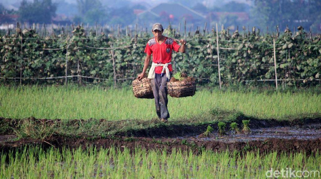Petani di Bandung Tetap Garap Sawah di Tengah Pandemi