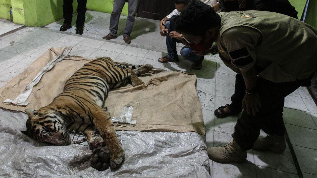 Harimau Sumatera Mati Terjerat di Area Hutan Industri