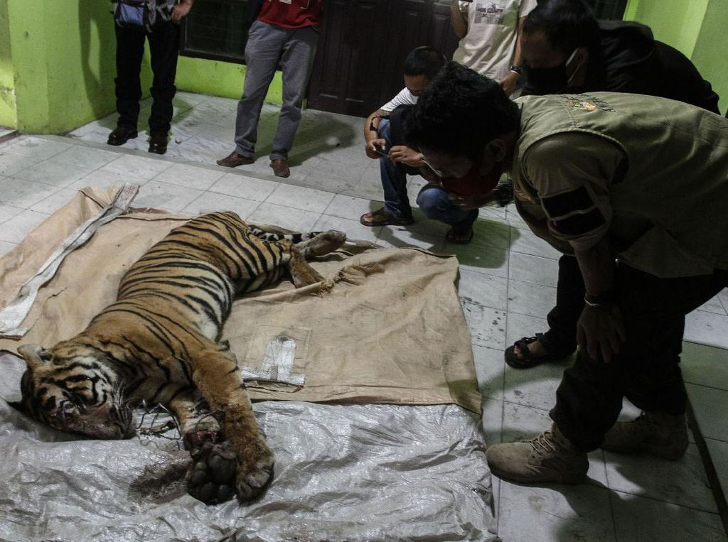 Tanggapan Sinar Mas soal Harimau Mati Terjerat di Area Konsesi