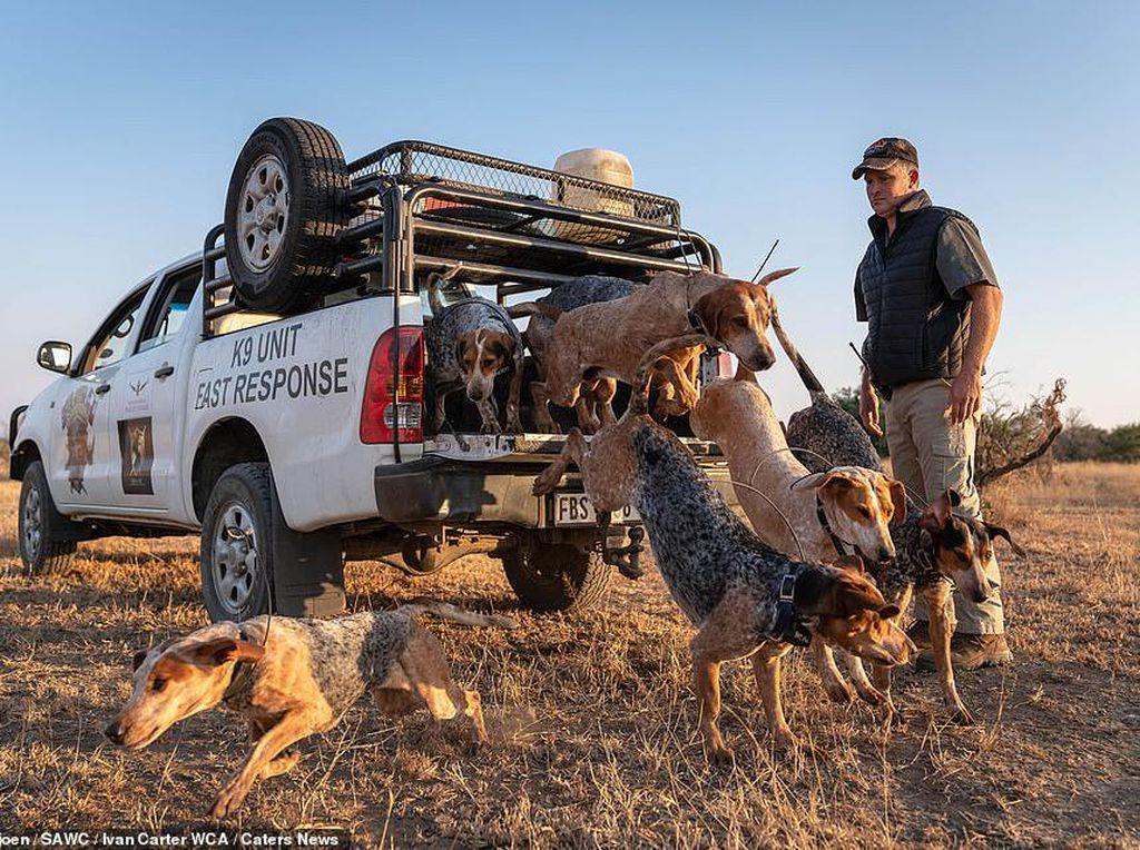 Di Afrika, Anjing-Anjing Dilatih untuk Berburu Pemburu Liar