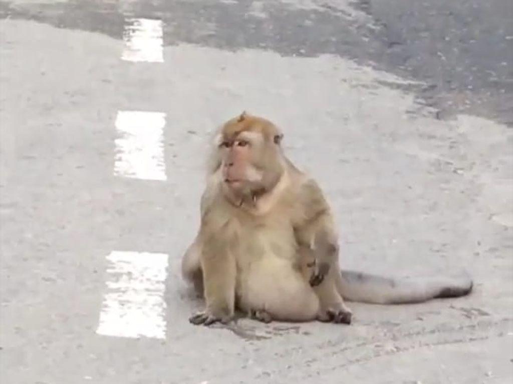 Viral Monyet Besar Berkeliaran di Jalanan Kota Medan, Kok Bisa?