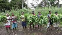 Papua Rawan Kelaparan Saat Pandemi Corona, Warga Berkebun Massal