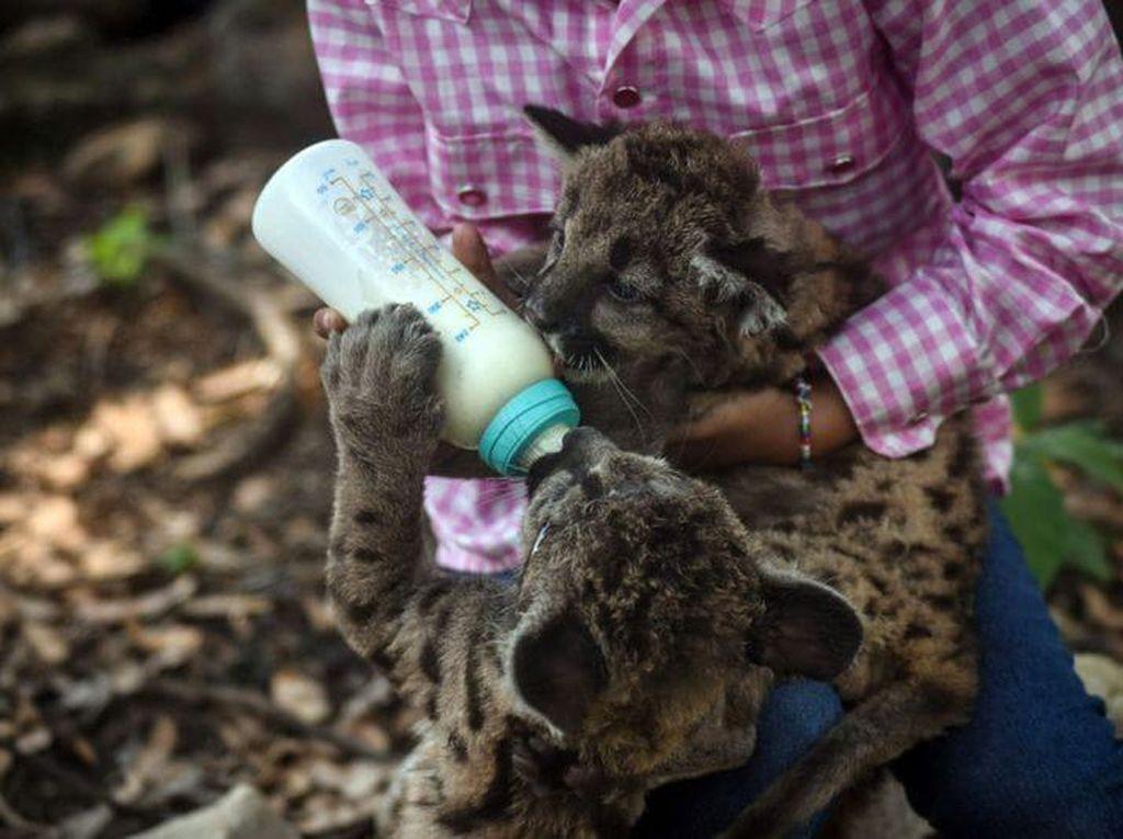 Pandemic dan Quarantine, Dua Bayi Puma di Kebun Binatang Meksiko