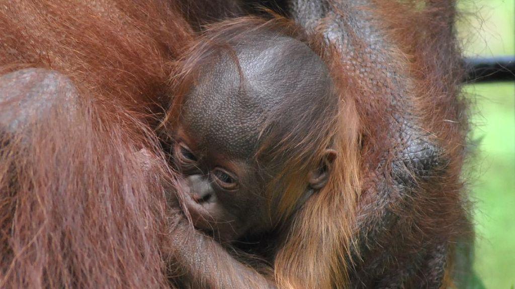 Kenalkan! Ini Fitri Bayi Orang Utan Kalimantan