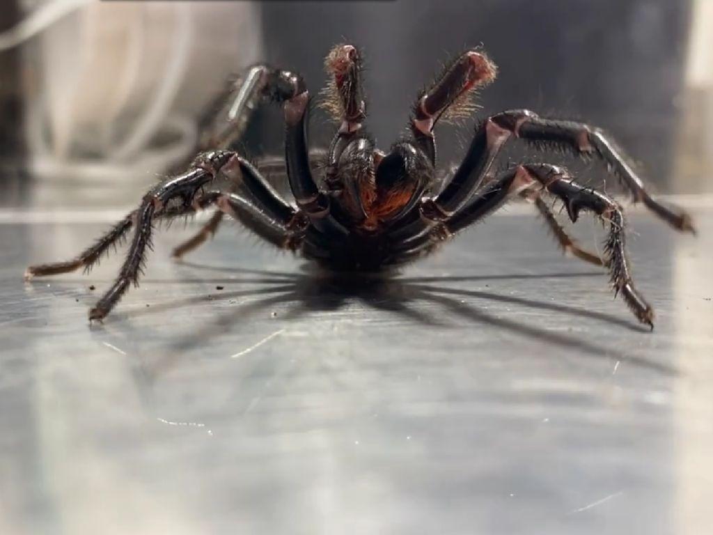 Mari Kenalan dengan Laba-laba Monster Bernama The Rock