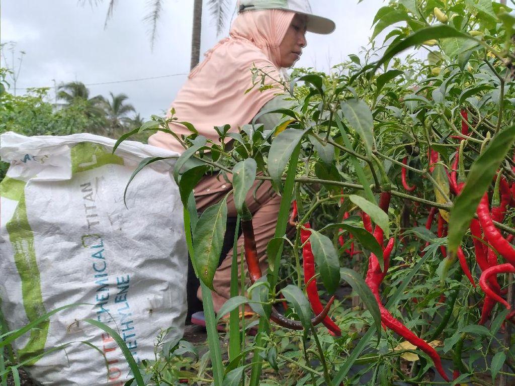 Harga Cabai Terus Anjlok, Petani di Kulon Progo Merugi