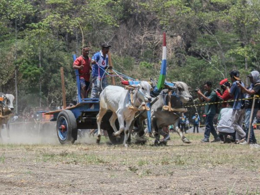 Mengenang Serunya Festival Gerobak Sapi di Prambanan
