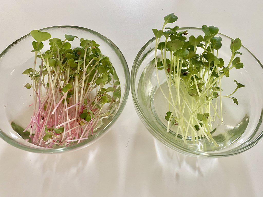 Kebun Sayur Microgreens Bisa Jadi Solusi Stok Sayuran Kekinian