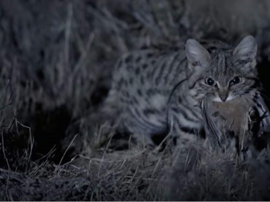 Si Kaki Hitam, Kucing Imut yang Mematikan