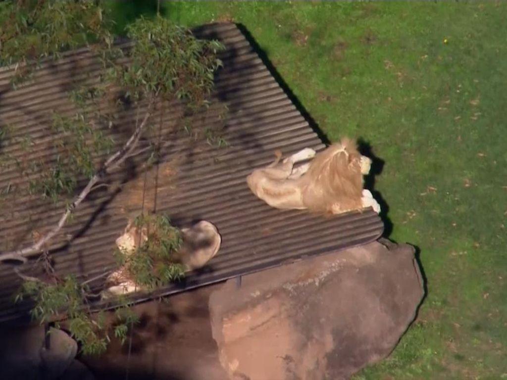 Petugas Kebun Binatang Australia Diterkam Singa, Lehernya Terluka