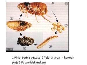 Balita Tsamara Diduga Bukan Digigit Kutu Kucing tapi Pinjal, Apa Bedanya?