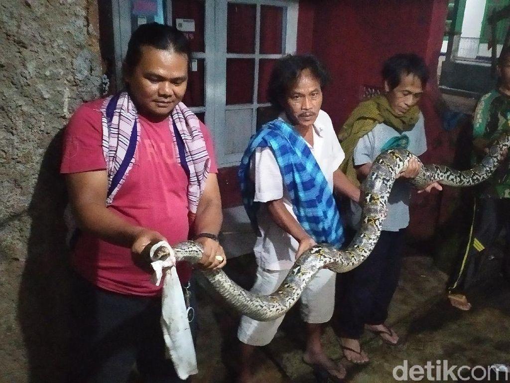 Ular Sanca 4,5 Meter Pemakan Ternak-Ikan Warga Cianjur Berhasil Ditangkap