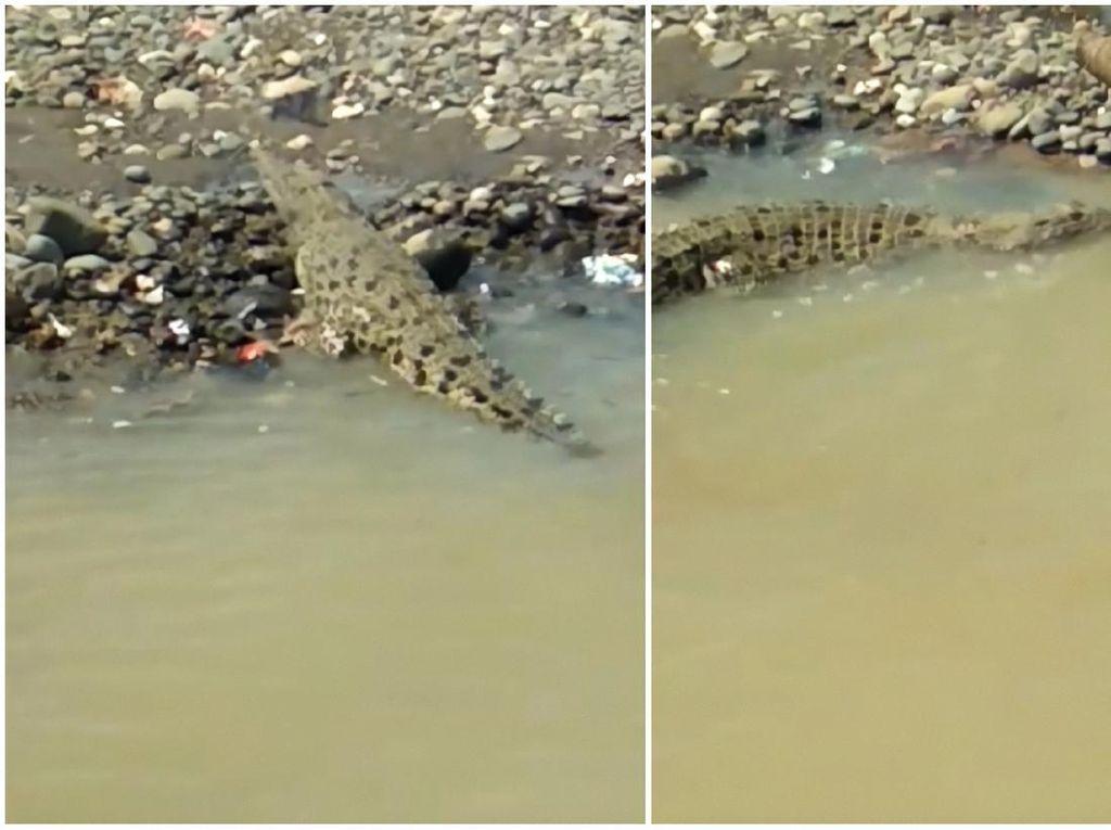 Cerita Kemunculan Buaya dan Kesaksian Pemancing di Sungai Cimandiri