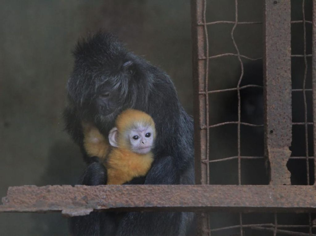 Gemasnya Remon, Bayi Lutung yang Terancam Punah di Bandung Zoo Garden