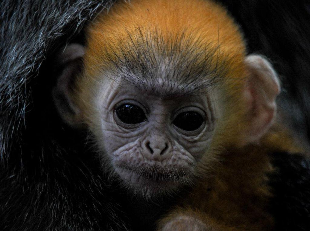 Fitri, Bayi Lutung Jawa yang Lahir di Tengah Pandemi