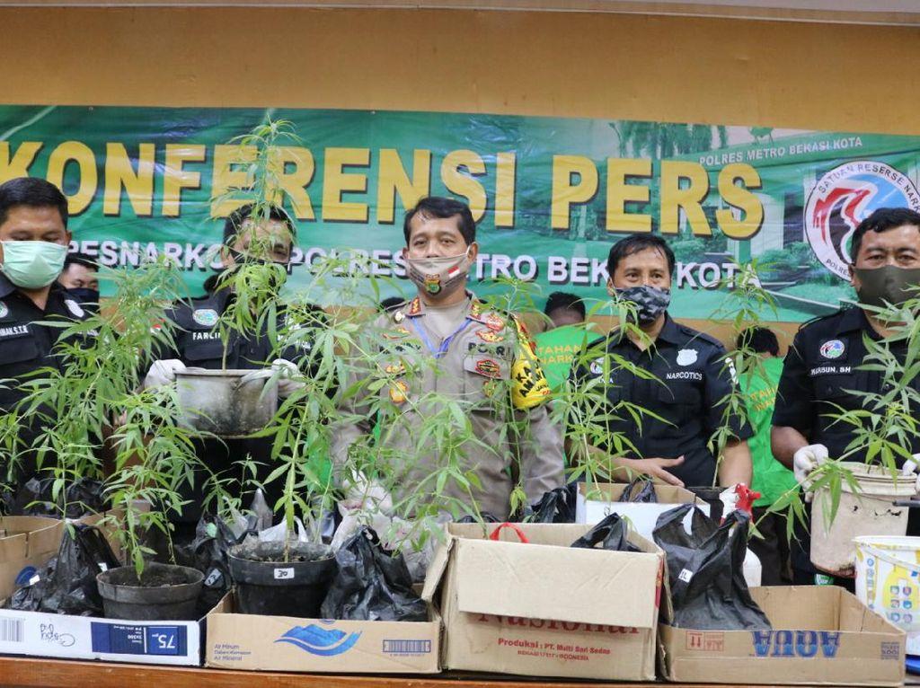 7 Pengedar Narkoba di Bekasi Ditangkap, 34 Pohon Ganja Disita