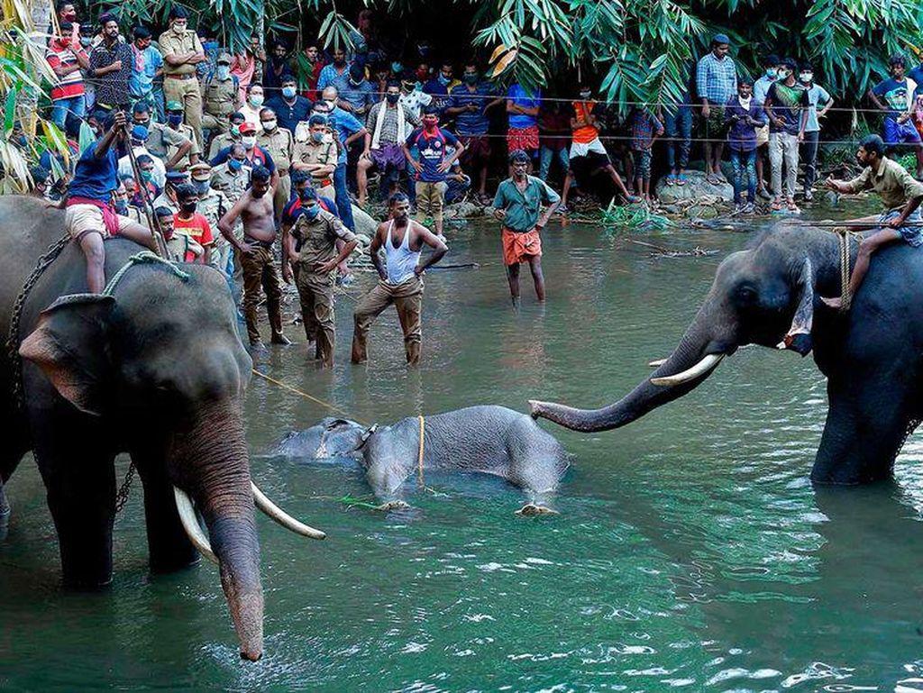 Kasihan, Gajah Hamil Ini Mati Setelah Diberi Nanas Berisi Petasan