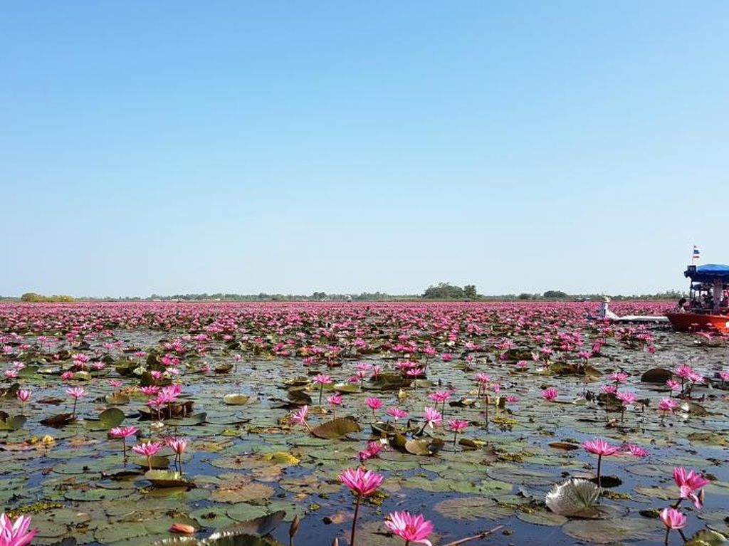 Cantiknya Danau Teratai Pink di Udon Thani, Thailand
