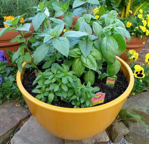kemangi dalam pot