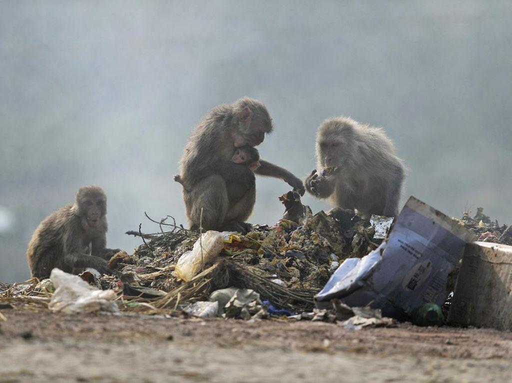 Miris! Monyet-monyet di India Mengais Makanan dari Sampah